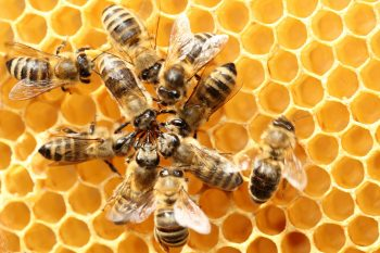 Dieses Bild zeigt Bienen und eine Bienenwabe.
