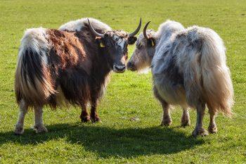 Dieses Bild zeigt zwei Yaks auf der Wiese.